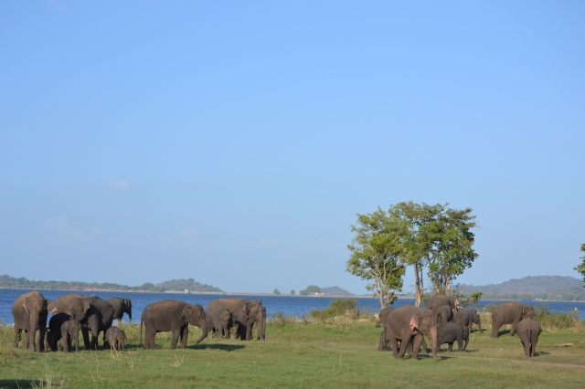 Elephants at Mineriya National Park, Sri Lanka